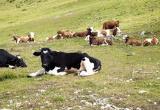 Vaches se trouvant sur le pâturage de montagnes Photographie stock