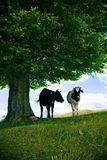 Vaches sous l'arbre Photos stock