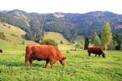 Vaches suisses Image libre de droits