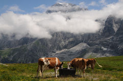 Vaches suisses Photo stock