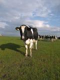 Vaches sur des terres cultivables Image libre de droits