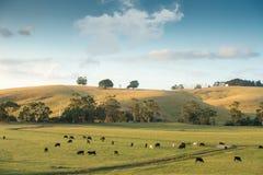 Vaches sur des terres cultivables dans l'Australie Images stock