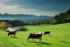 Vaches sur l'herbe verte Photos stock