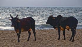 Vaches sur la plage de Baga Images libres de droits