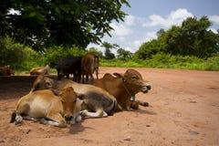 Vaches sur la route Photo stock