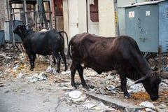 Vaches sur la route Photos libres de droits