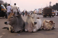 3 vaches sur la route Photos libres de droits