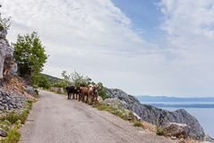 Vaches sur la route de montagne Images stock