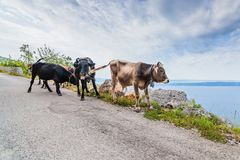 Vaches sur la route de montagne Photographie stock