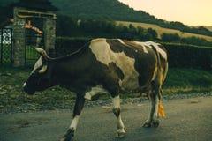 Vaches sur la route sur le coucher du soleil Photographie stock libre de droits