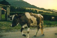 Vaches sur la route sur le coucher du soleil Photos stock