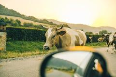 Vaches sur la route sur le coucher du soleil Images stock