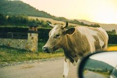 Vaches sur la route sur le coucher du soleil Photographie stock