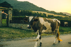 Vaches sur la route sur le coucher du soleil Photos libres de droits