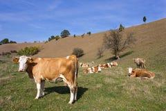 Vaches sur la vallée Images libres de droits