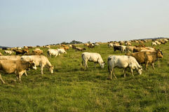Vaches sur la zone Photos stock