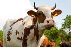 Vaches sur la zone Photographie stock libre de droits