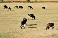 Vaches sur la zone Images stock