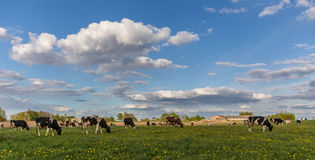 Vaches sur le champ Image stock