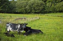 Vaches sur le pâturage Image libre de droits