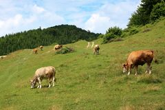 Vaches sur le pâturage alpestre Photo stock