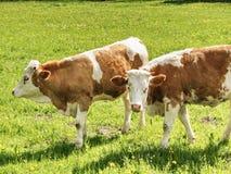 Vaches sur le pâturage bavarois Photos stock