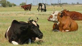 Vaches sur le pâturage dans le domaine banque de vidéos