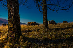 Vaches sur le pâturage pendant l'automne, les montagnes bleues et les vieilles barrières dedans photographie stock libre de droits