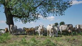 Vaches sur le pré banque de vidéos