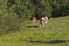 Vaches sur le pré Image libre de droits