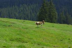 Vaches sur le pré Photo libre de droits