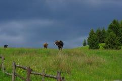 Vaches sur le pré Photos stock