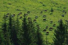 Vaches sur le pré Images libres de droits