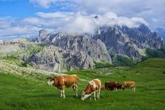 Vaches sur le pré alpin au sanlit Images stock