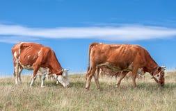 Vaches sur le pré avec l'herbe Photos libres de droits