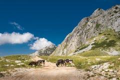 Vaches sur le pré de montagnes images libres de droits
