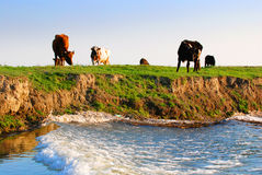 Vaches sur le riverbank Photos libres de droits