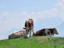 Vaches sur les Alpes Images libres de droits