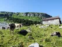 Vaches sur les p?turages sur les pentes de la gamme de montagne d'Alviergruppe photographie stock libre de droits