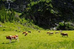 Vaches sur les prés alpins Photo stock