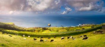 Vaches sur les prés et l'océan sur Ponta Delgada, Açores photo libre de droits