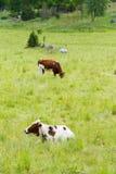 Vaches sur un champ d'herbe Photographie stock