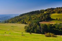 Vaches sur un champ dans un village polonais Photographie stock libre de droits