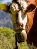 Vaches sur un pâturage d'été Image stock