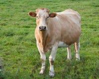 Vaches sur un pré Image libre de droits