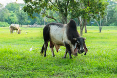 Vaches thaïes Photos stock