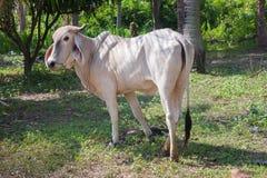 Vaches thaïes Images libres de droits