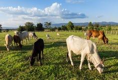 Vaches thaïlandaises à troupeaux mangeant l'herbe Images stock