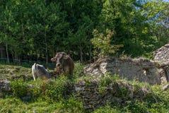 Vaches tranquilles alimentant dans les Alpes suisses - 2 Photo stock