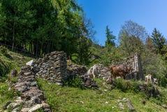 Vaches tranquilles alimentant dans les Alpes suisses - 1 Photo stock